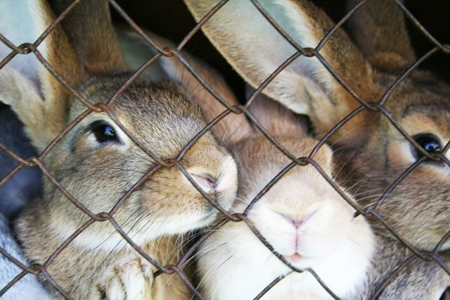 Bunnies-Rabbits-In-Cage