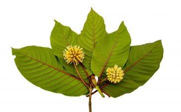 Top 5 Benefits of Kratom Leaves