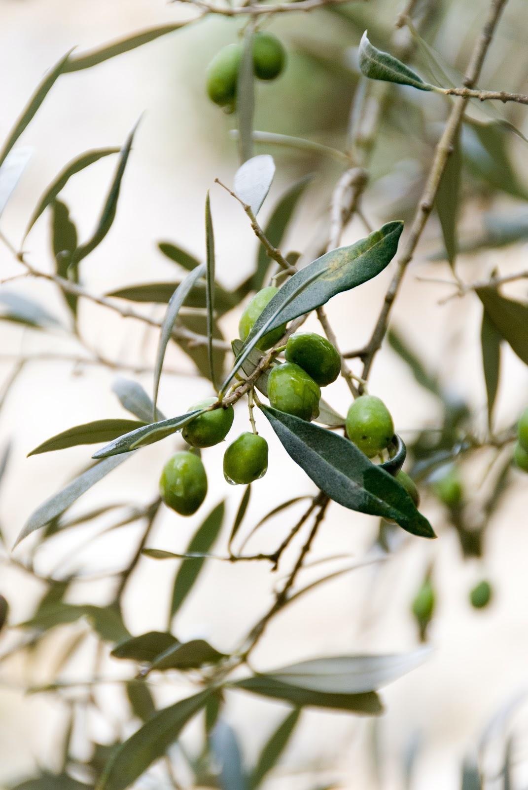 Antioxidants in olive oil