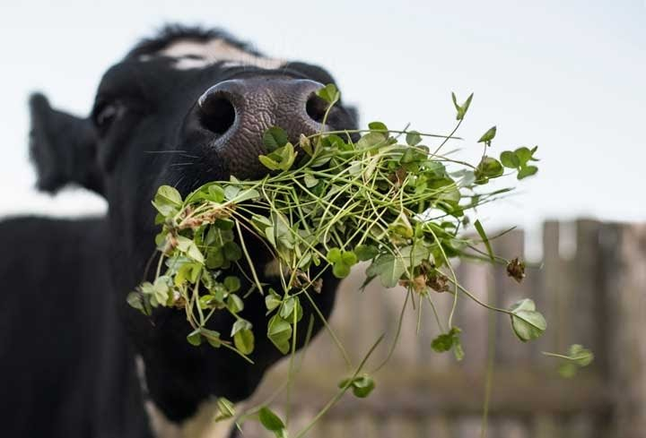 Grass feed